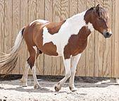 Pinto horse httpsuploadwikimediaorgwikipediacommonsthu