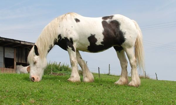 Pinto horse Pinto Horse Coat White Pattern The Equinest