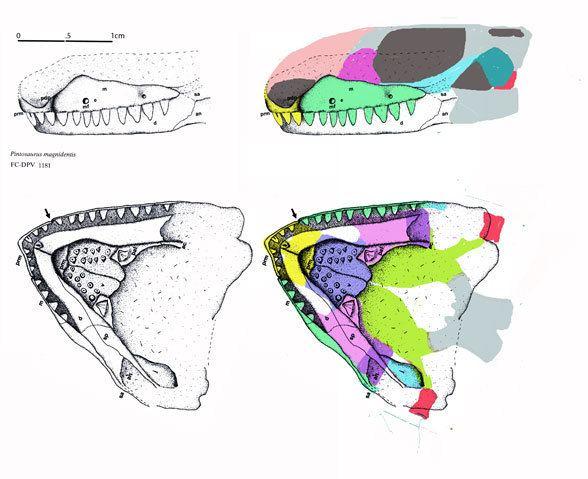Pintosaurus wwwreptileevolutioncomimageslepidosauromorpha