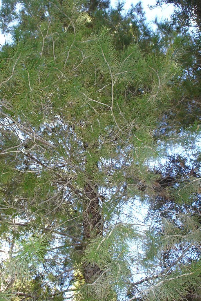 Pinus herrerae Find Trees amp Learn University of Arizona Campus Arboretum