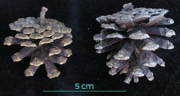 Pinus herrerae Pinus herrerae pino chino description The Gymnosperm Database