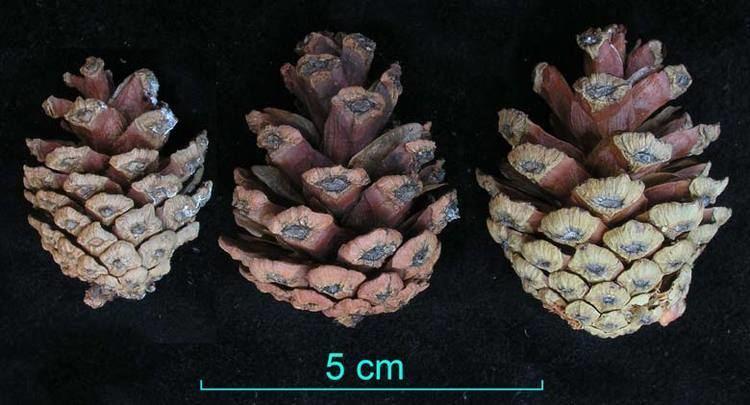 Pinus herrerae MABA Flash Cards