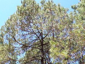 Pinus herrerae BOLD Systems Taxonomy Browser Pinus herrerae species