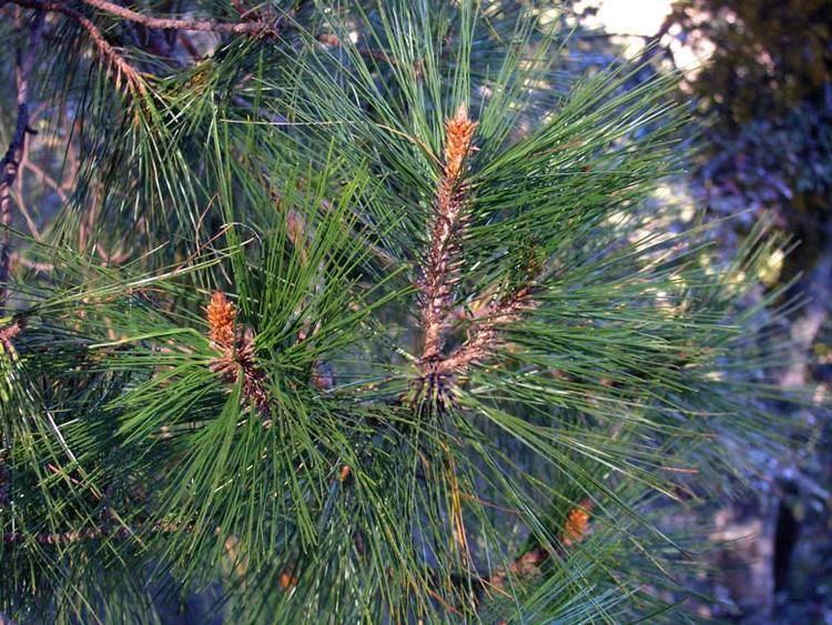 Pinus herrerae wwwconifersorgpipihherrerae03jpg