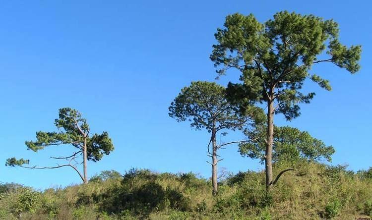 Pinus jaliscana wwwconifersorgpipijjaliscana02jpg