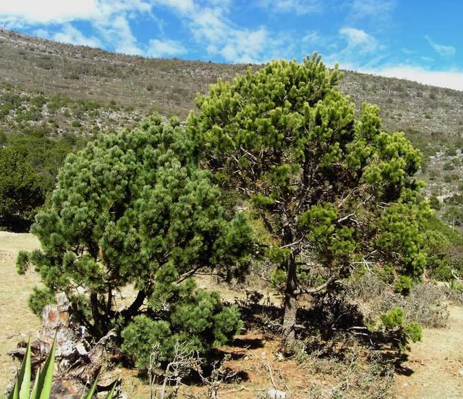 Pinus johannis Pinus johannis pionero description The Gymnosperm Database