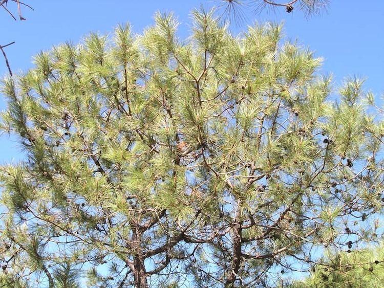 Pinus lawsonii wwwconifersorgpipillawsonii06jpg