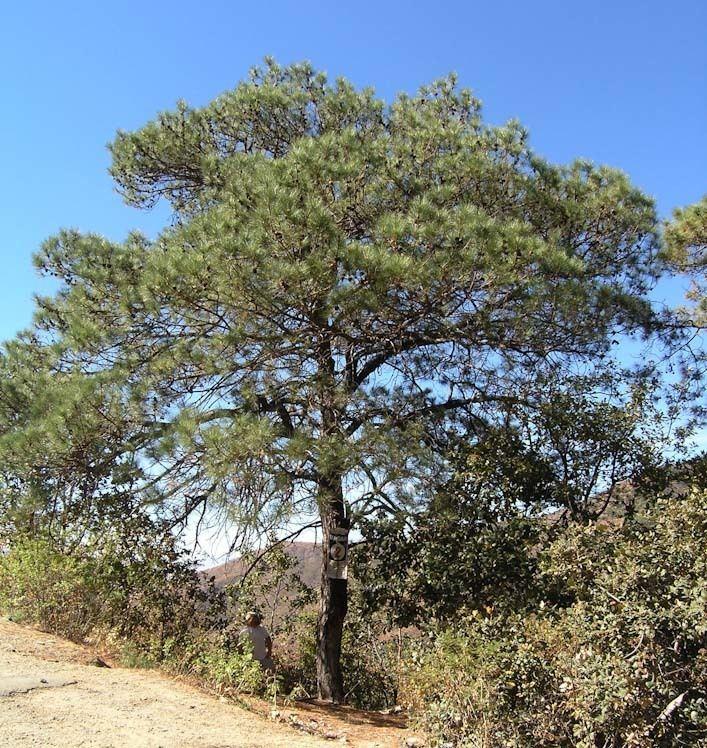 Pinus lawsonii Pinus lawsonii pino ortigillo description The Gymnosperm Database