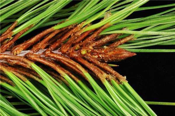 Pinus lawsonii Factsheet Pinus lawsonii