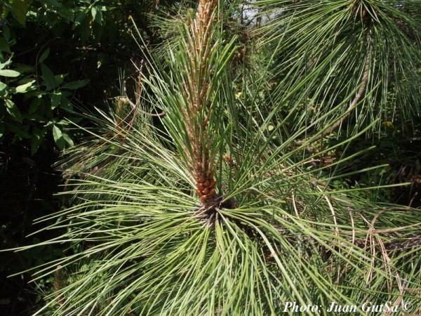 Pinus lawsonii Pinus lawsonii