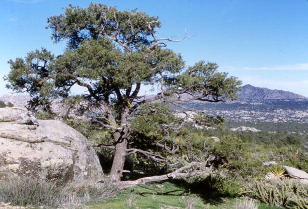 Pinus monophylla wwwconifersorgpipimmonophylla01jpg