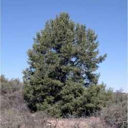 Pinus monophylla SEINet Arizona Chapter Pinus monophylla
