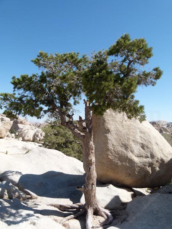 Pinus monophylla Pinus monophylla Pinyon Pine