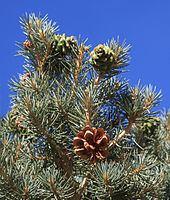 Pinus monophylla Pinus monophylla Wikipedia