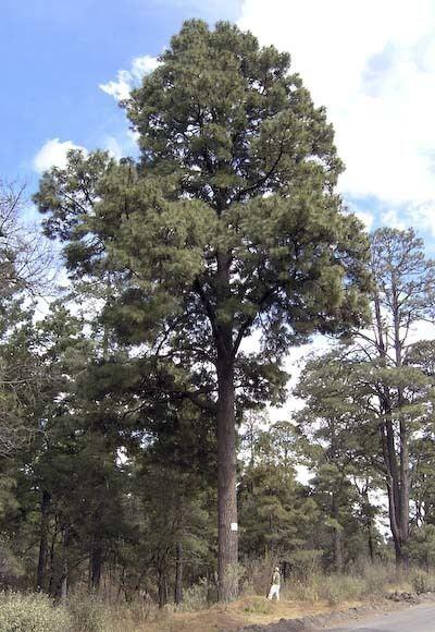 Pinus montezumae Pinus montezumae ocote description The Gymnosperm Database