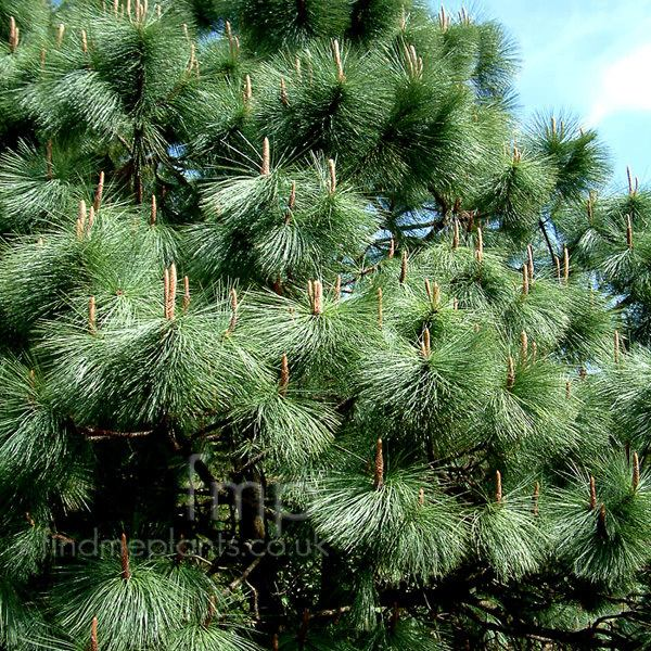 Pinus montezumae Pinus montezumae Montezuma Pine Information Pictures