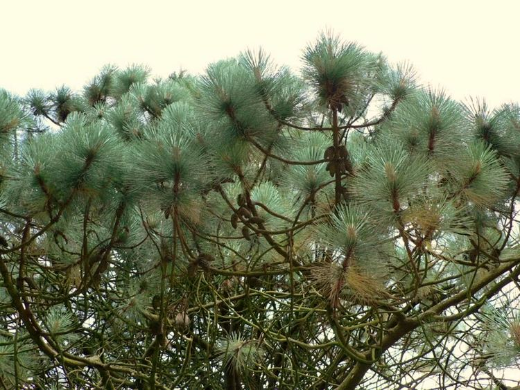 Pinus montezumae FilePinus montezumae cultivatedjpg Wikimedia Commons