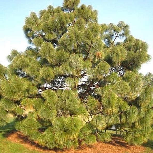 Pinus montezumae montezumae