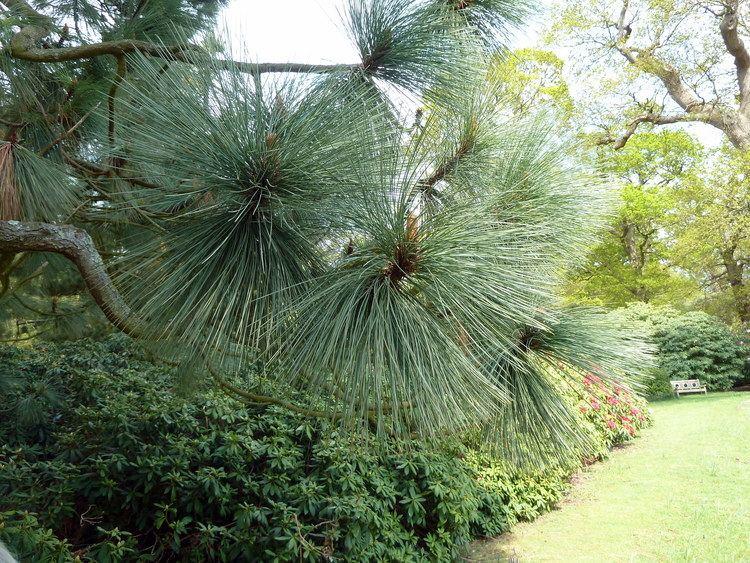 Pinus montezumae FilePinus montezumae Sheffield Botanical Gardensjpg Wikimedia