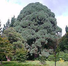Pinus montezumae httpsuploadwikimediaorgwikipediacommonsthu