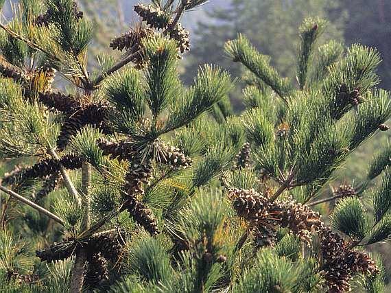 Pinus morrisonicola BOTANYcz PINUS MORRISONICOLA Hayata borovice morrisonsk borovica