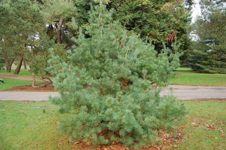 Pinus morrisonicola httpsdavisla6fileswordpresscom201502pinus