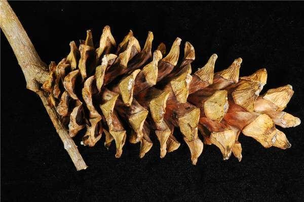 Pinus morrisonicola Factsheet Pinus morrisonicola