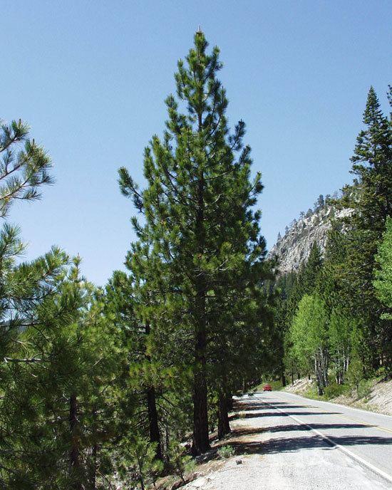 Pinus ponderosa UFEI SelecTree A Tree Selection Guide