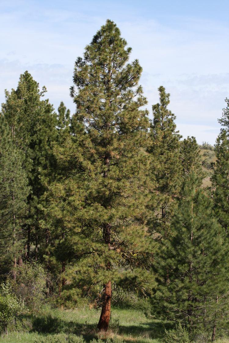 Pinus ponderosa FilePinus ponderosa 9663JPG Wikimedia Commons