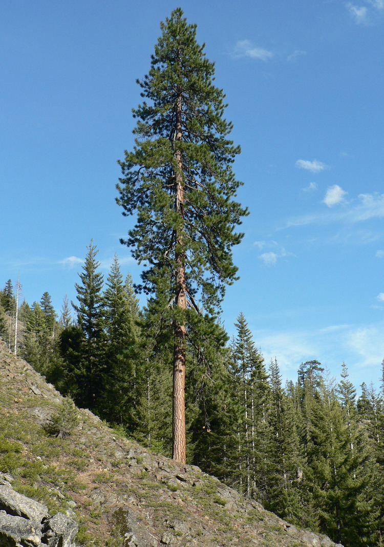 Pinus ponderosa httpsuploadwikimediaorgwikipediacommonsff