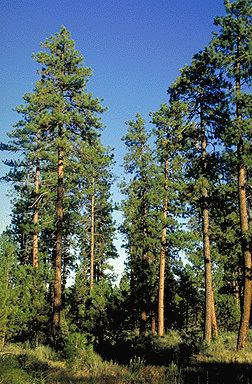 Pinus ponderosa Pinus ponderosa Fact Sheet