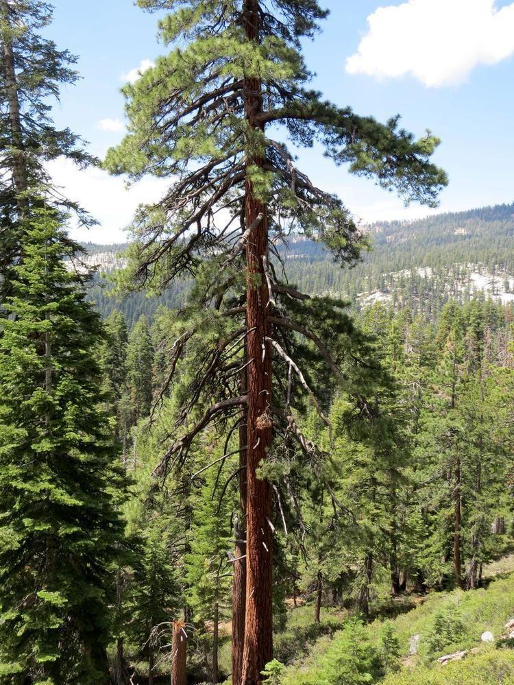 Pinus ponderosa Pinus ponderosa Ponderosa Pine