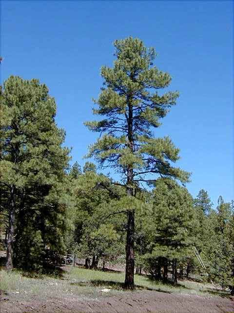 Pinus ponderosa Ponderosa Pine Pinus ponderosa