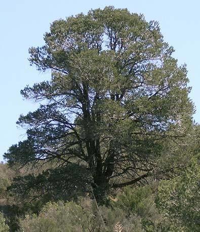 Pinus quadrifolia Pinus quadrifolia Parry pion description The Gymnosperm Database