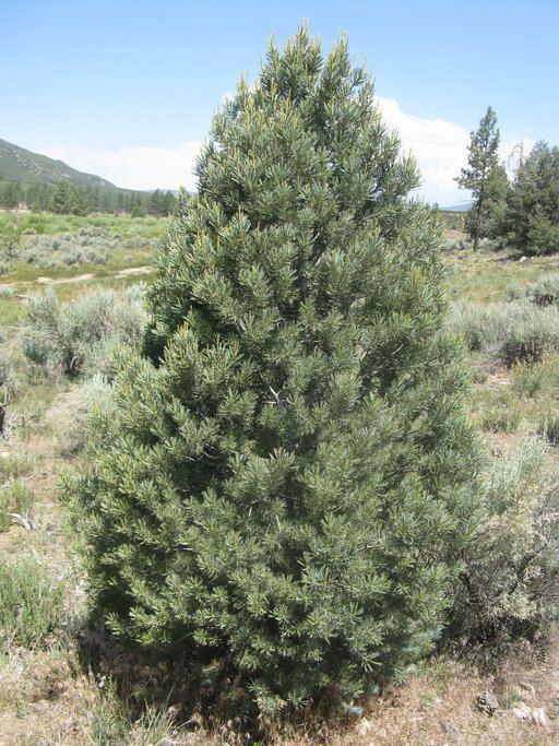 Pinus quadrifolia CalPhotos Pinus quadrifolia Parry Pinyon