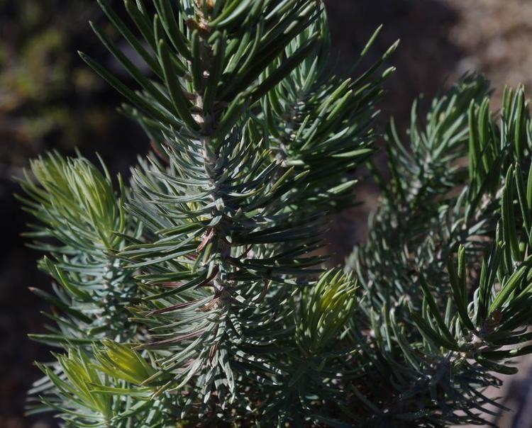 Pinus quadrifolia Pinus quadrifolia Parry Pinyon