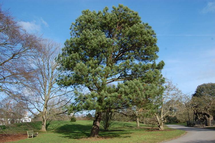 Pinus taeda Pinus taeda landscape architect39s pages