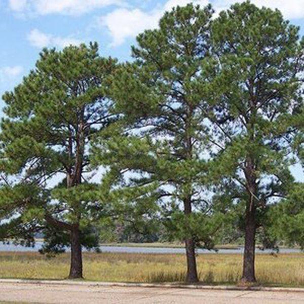 Pinus taeda PINUS TAEDA Loblolly Pine