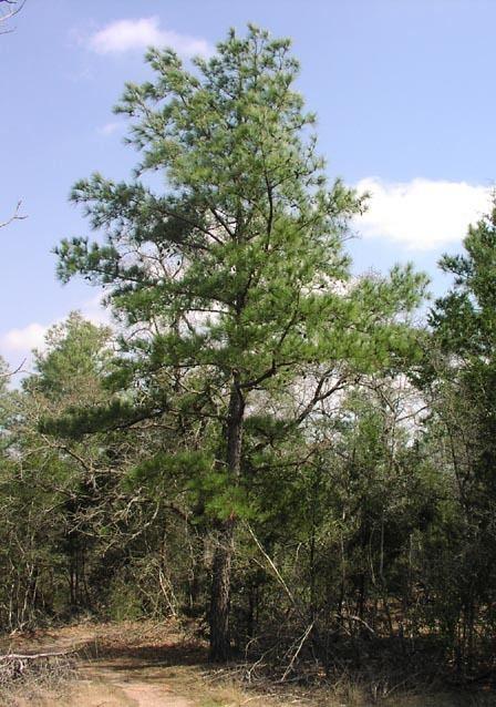 Pinus taeda Pinus taeda