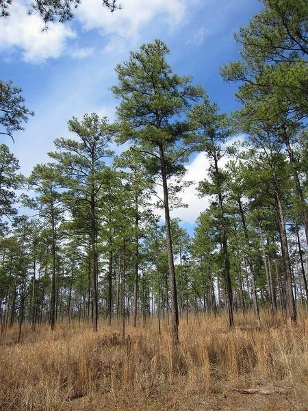 Pinus taeda taeda