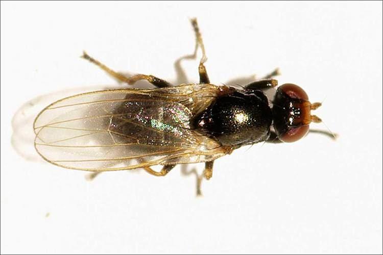 Piophilidae Dipterainfo Discussion Forum Piophilidae