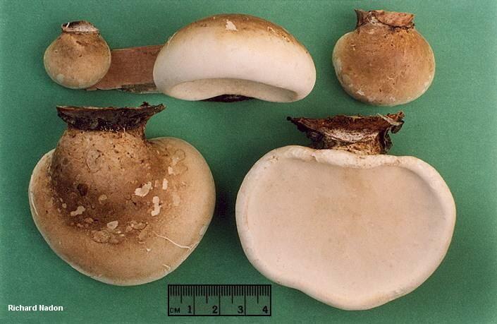 Piptoporus betulinus wwwmushroomexpertcomimagesnadonnadonpiptopor