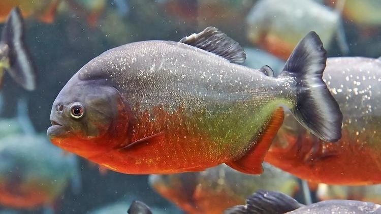 Piranha RedBellied Piranha