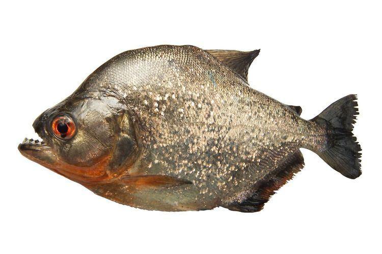 Piranha Piranha Facts Where Do Piranhas Live DK Find Out