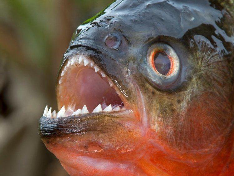 Piranha A Piranha Was Just Found in an Arkansas Lake Smart News Smithsonian