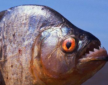 Piranha wwwextremesciencecomimagespiranhajpg