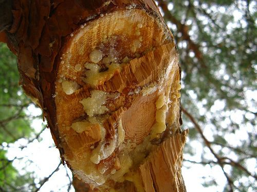 Pitch (resin) What39s the Difference Pine Sap Pitch or Resin DOWN and OUT