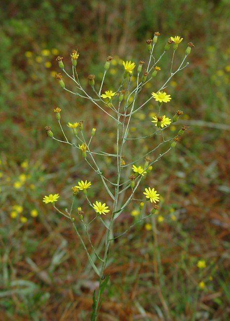 Pityopsis graminifolia wwwalabamaplantscomYellowaltPityopsisgraminif