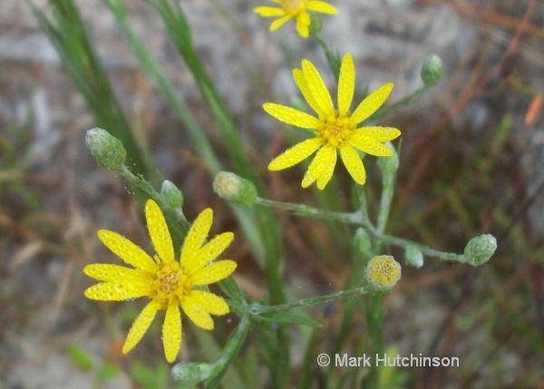 Pityopsis graminifolia Florida Native Plant Society