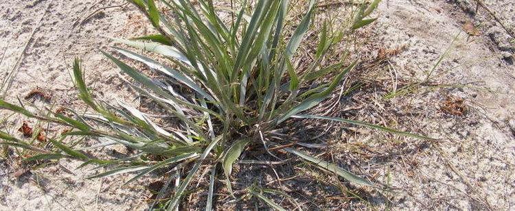 Pityopsis graminifolia Grassyleaf Goldenaster Narrowleaf Silkgrass Pityopsis graminifolia